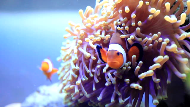 clownfish - tank stock videos & royalty-free footage
