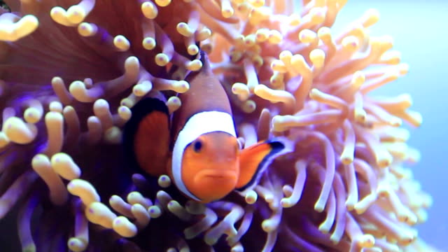 stockvideo's en b-roll-footage met clownfish - clownvis