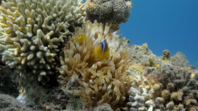 clownfish - röda havet bildbanksvideor och videomaterial från bakom kulisserna