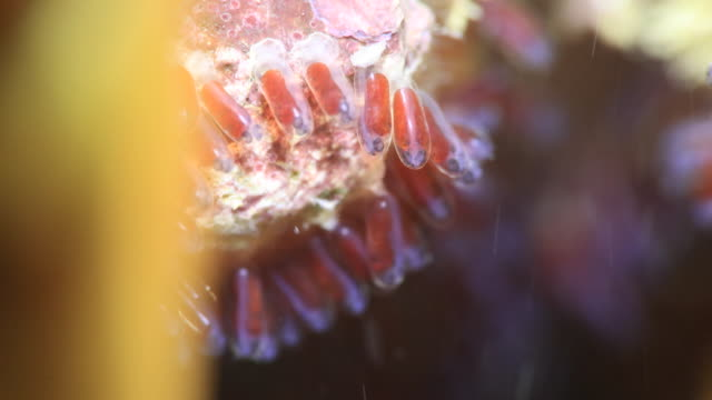 clownfish with its eggs in okinawa - castle island stock videos & royalty-free footage