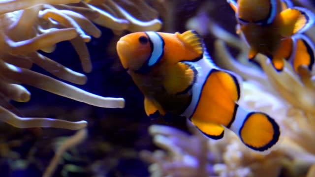 clownfishes または生息 - クマノミ亜科点の映像素材/bロール