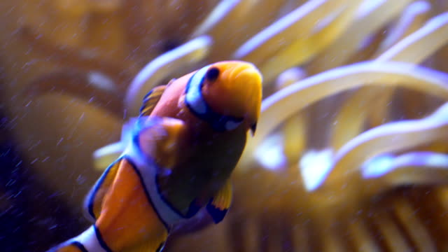 vídeos de stock e filmes b-roll de clownfishes or anemonefishes - amphiprion percula
