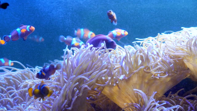 stockvideo's en b-roll-footage met clownfishes of anemonefishes - onder