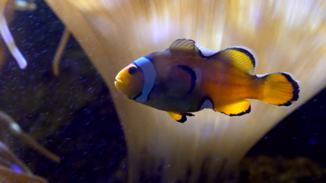 stockvideo's en b-roll-footage met clownfishes of anemonefishes - clownvis