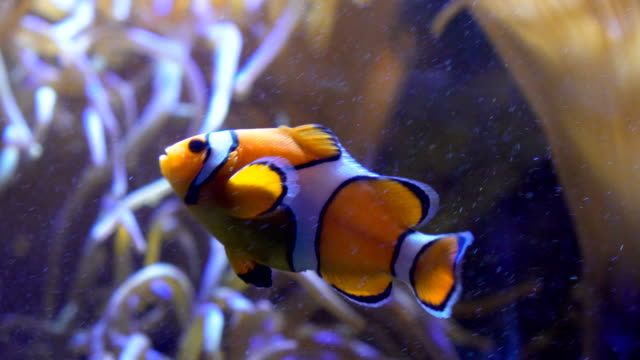 clownfishes or anemonefishes - clown anemonefish stock videos & royalty-free footage