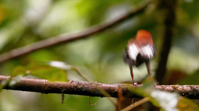 stockvideo's en b-roll-footage met club winged manakin in mashpi / ecuador - documentairebeeld