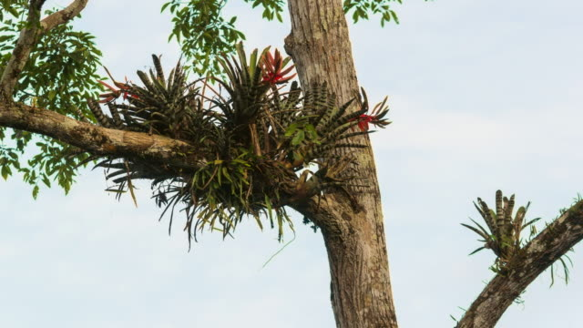 Clump of bromeliads Aechmea zebrina growing in a rainforest tree with ants running on trunk