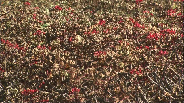 Clumps of Japanese Rowan bloom in the Northern Japan Alps.