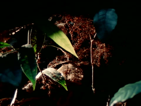 vidéos et rushes de cluster of ants on top of plant, light bg. lrage colony of army ants on plant army ants crawling on fallen vegetation, leaves on forest floor. south... - colony