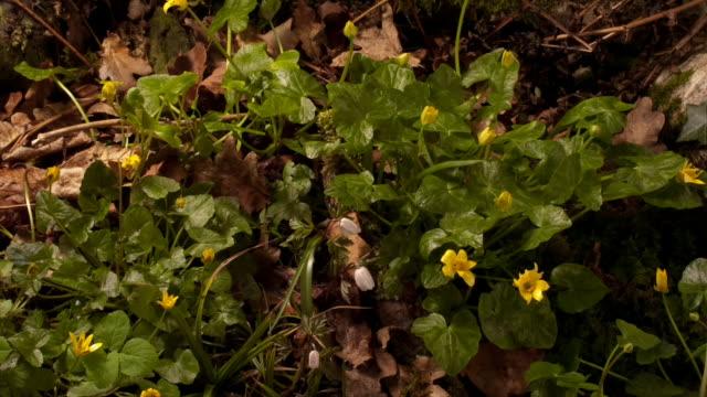 stockvideo's en b-roll-footage met a cluster of celandine flowers shows its beauty as it blooms. available in hd. - tijdopname