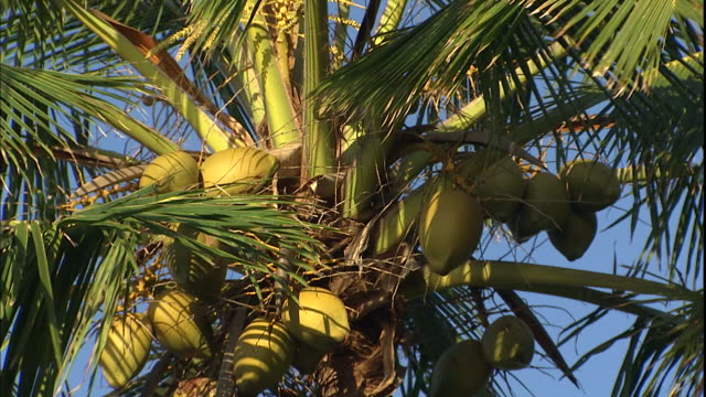 vídeos de stock e filmes b-roll de a cluster of coconuts grow at the top of a swaying palm tree. - kauai