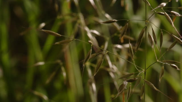 a cluster of false oat grass produces small yellow flowers. available in hd. - stamen stock videos & royalty-free footage