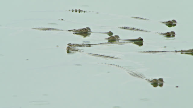 cluster of gharial hatchlings half-submerged in water - 突き出た鼻点の映像素材/bロール