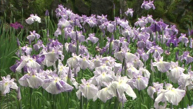 a cluster of irises bloom in a garden. - shiso stock videos & royalty-free footage