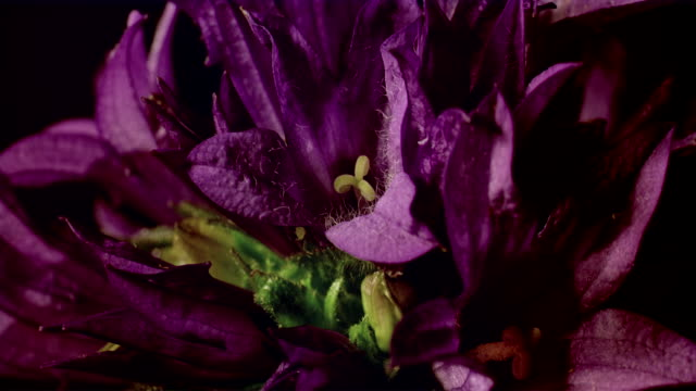cu t/l  cluster of purple flower opening with yellow stamen  / studio city, california, usa - stamen stock videos & royalty-free footage