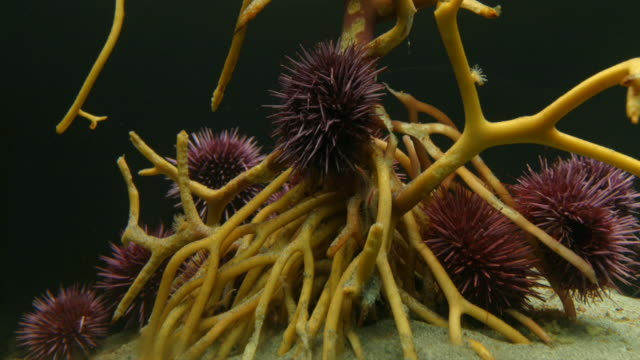 a cluster of purple sea urchins climb around kelp roots. available in hd. - ricci di mare video stock e b–roll