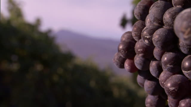 a cluster of ripe, purple grapes overlooks a neighboring row of vines. - orticoltura video stock e b–roll