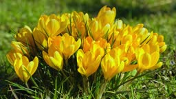 A cluster of yellow crocuses blooms amazingly! Time-lapse photography