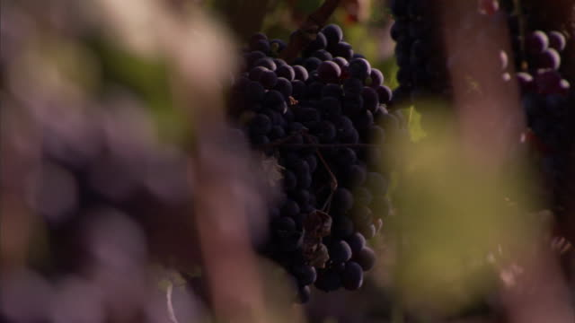 clusters of grapes in different stages of ripeness hang on a vine. - orticoltura video stock e b–roll