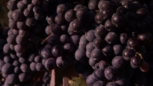 clusters of heavy, ripe grapes hang low to the ground. - orticoltura video stock e b–roll