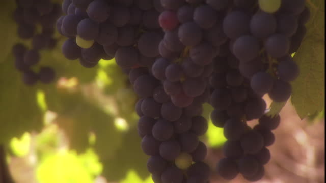 clusters of purple grapes hang on a vine. - grape stock videos & royalty-free footage