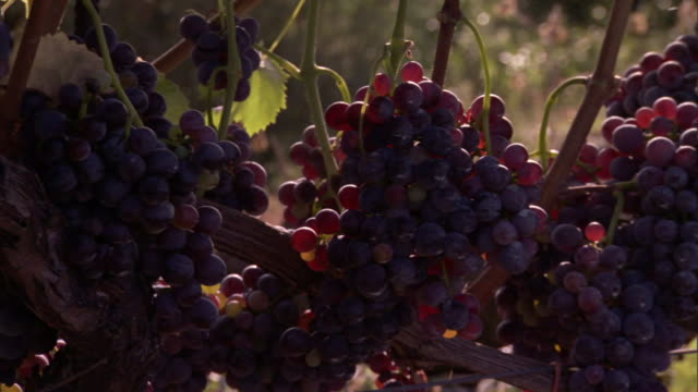 clusters of ripe grapes hang from a vine in a vineyard. - orticoltura video stock e b–roll