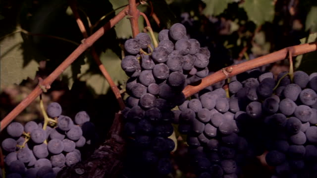 clusters of ripe purple grapes hang from grapevines. - orticoltura video stock e b–roll