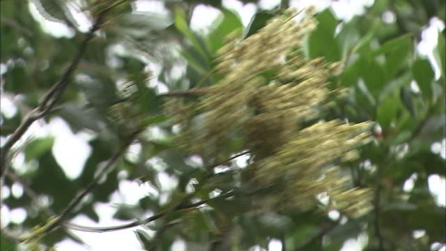 clusters of small white flowers grow on an elaeocarpus photiniaefolius tree. - subtropical climate stock videos and b-roll footage