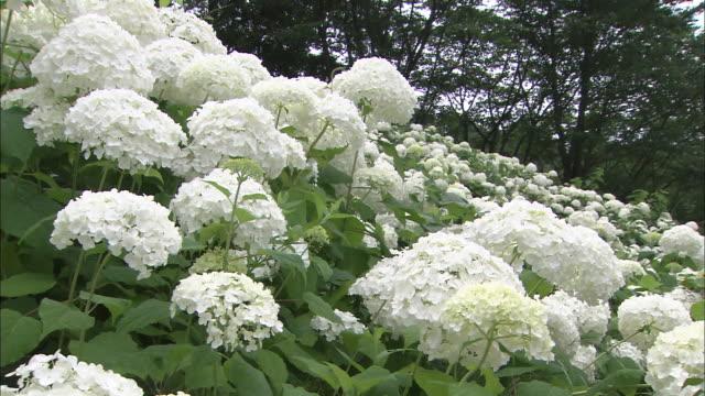 vídeos y material grabado en eventos de stock de clusters of white hydrangeas cover verdant plants. - hortensia