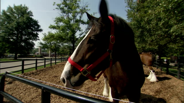 a clydesdale horse looks over a corral fence. - zugpferd stock-videos und b-roll-filmmaterial