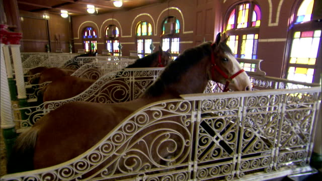 clydesdale horses stand in ornate stalls. - zugpferd stock-videos und b-roll-filmmaterial