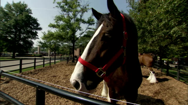 a clydesdale looks outside its corral. - draft horse stock videos & royalty-free footage