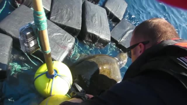 vídeos de stock e filmes b-roll de coast guard cutter thetis crew members rescue a endangered sea turtle entangled amongst seized bales of cocaine and marijuana in the eastern pacific... - emaranhado