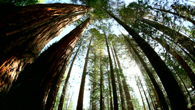 coast redwood trees (sequoia sempervirens) - sequoia sempervirens stock videos and b-roll footage