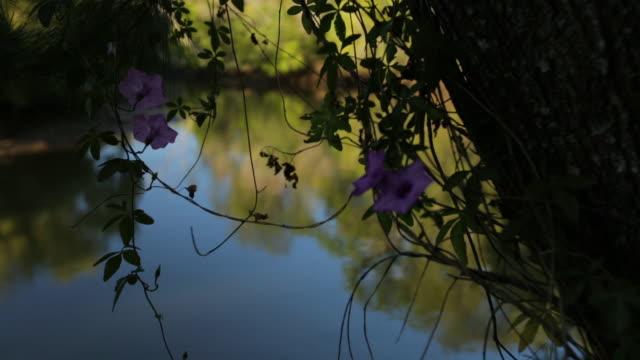 coastal morning glory flower, qld island - morning glory stock videos & royalty-free footage