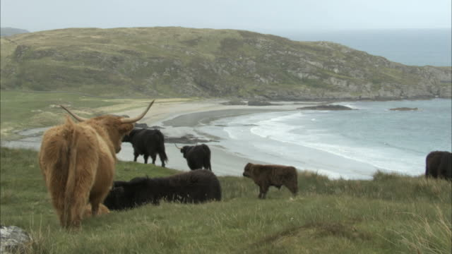 coastal scenic in hebrides with highland cows bos taurus in foreground - scottish highlands stock videos & royalty-free footage