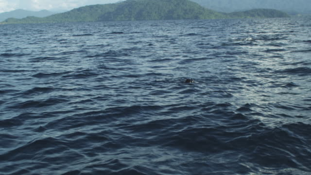 WS coastline, diver snorkelling at surface, whale shark under water, Indonesia, 2012