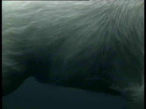 Coat of polar bear ripples in water as it swims, Svalbard
