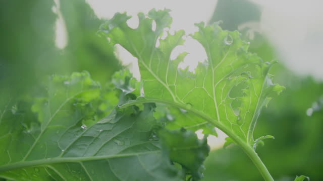 coated organic vegetables in the garden - butter lettuce stock videos & royalty-free footage