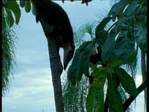 Coati clambers down tree in front of Iguazu falls, Brazil