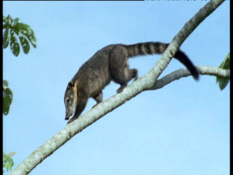 Coati clambers in tree and feeds on seed pods, Brazil