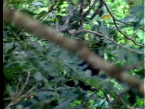 Coati, MS coati climbs tree, Panama