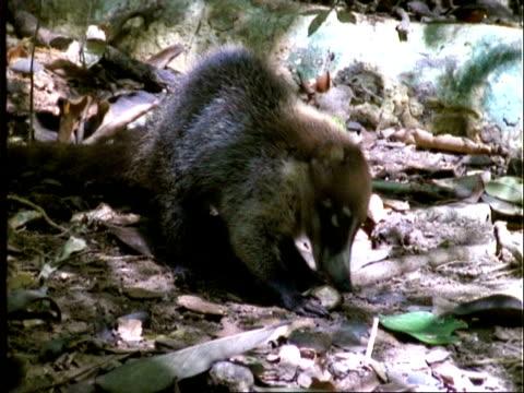 Coati, MS coati eating Dipteryx fruit, drops it, younger coati begins to eat it, then walks off, Panama