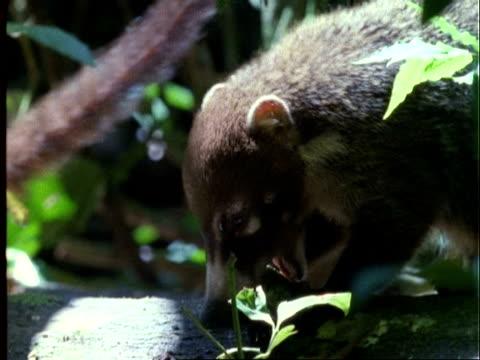 Coati, CU coati eating Dipteryx fruit, Panama