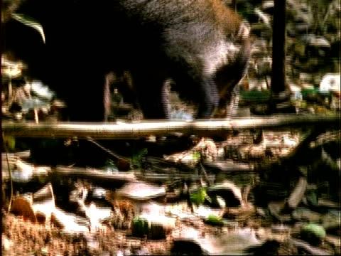 Coati, CU coati enters frame, picks up and eats Dipteryx fruit, Panama