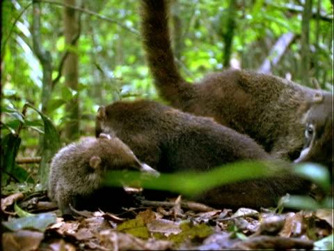 Coati, MS coati grooms younger coati, Panama