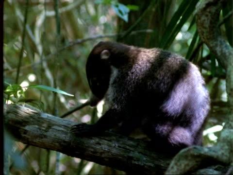 Coati, MS coati on log scratching itself, turns around and walks off, Panama