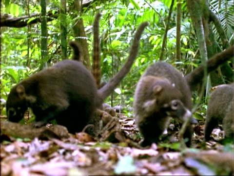 Coati, CU coatis foraging on forest floor, feed on Dipteryx fruit, ground level shot, Panama