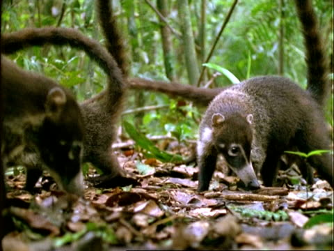 coati, cu coatis foraging on forest floor, feed on dipteryx fruit, ground level shot, panama - foraging stock videos and b-roll footage