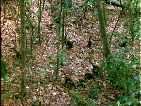Coati, MS coatis foraging on forest floor, shot from above, Panama
